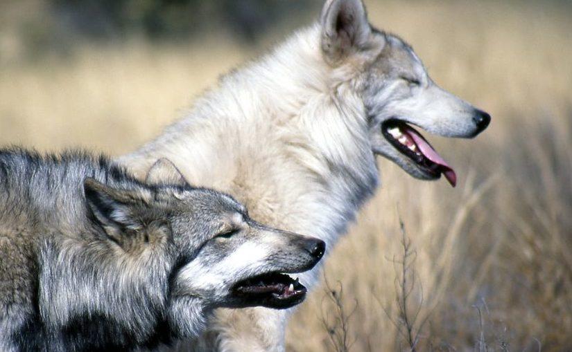 Twee wolven